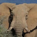 L'éléphant d'Afrique en danger plus que jamais.