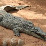 Crocodile et alligator : quelle différence ?