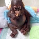 Budi, le bébé orang-outan sauvé de maltraitrances