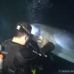 Un plongeur sauve un dauphin prit dans un filet de pêche!