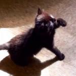 Chaton veut se battre avec son ombre