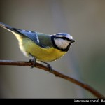 Pourquoi les oiseaux chantent-ils ?