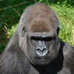 Contre Ebola, vacciner les grands singes ?