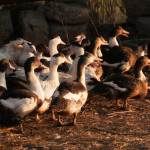 France: L'éradication de la grippe aviaire coûtera 300 millions d'euros
