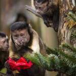 Les capucins punissent ceux qui ont plus de nourriture