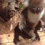Entendre ce koala pleurer va vous briser le coeur