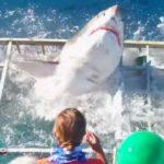 Un requin blanc s'introduit dans la cage d'un plongeur