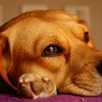 Le conte de fées de Guy le Beagle
