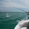 Tarpon jumping in Key West harbor