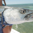 barracuda fishing on the flats