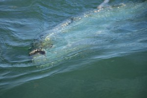 Tarpon about to come up for a gulp of air in Key West
