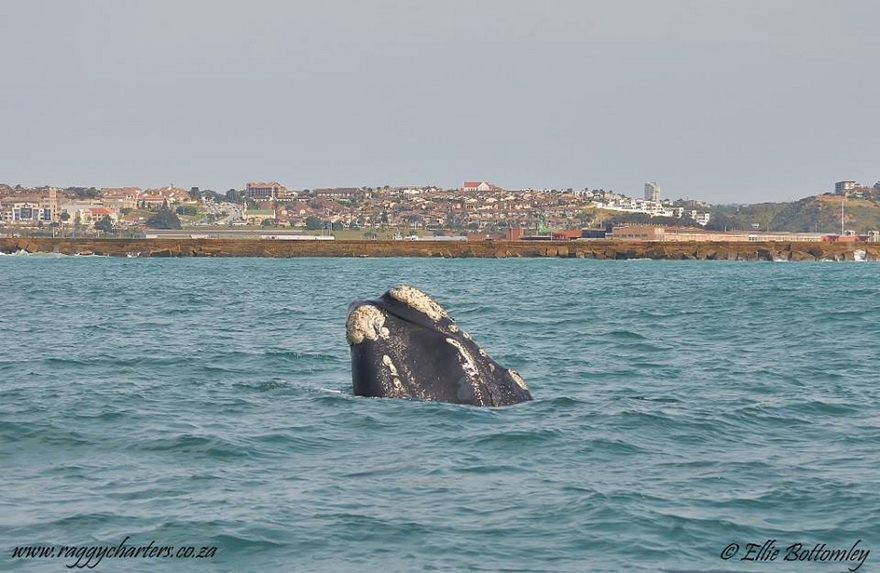 Algoa Bay - Southern Right Whale
