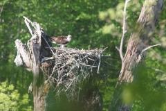 henneosprey