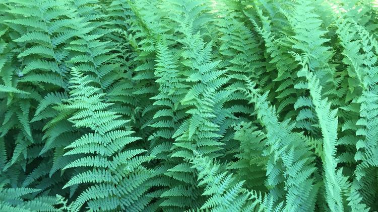 Ferns Denison