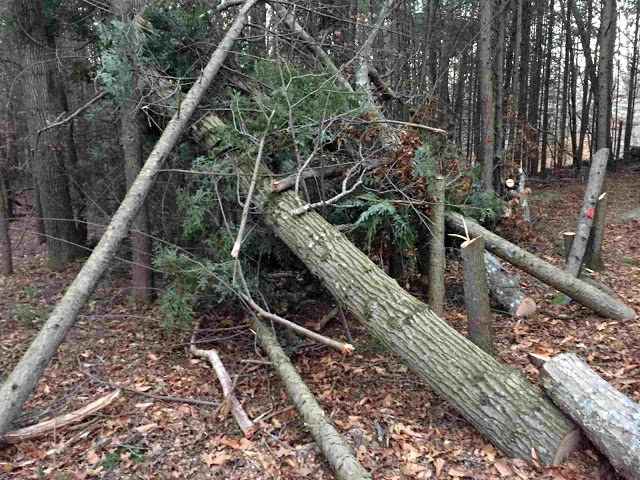 Windstorms Have Toppled Dozens Of Oak Trees. (Photo Beth Sullivan)