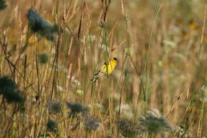 Male Goldfinch enjoying seeds.