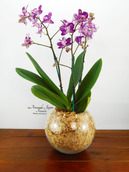 Orchid Plant presented in a glass bowl, blooms that keep giving, Noosaville flowers