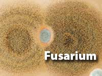 Fusarium-MOULD
