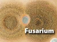 Fusarium-MOULD