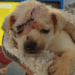 sadie injured puppy at harris county animal shelter