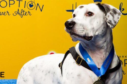 2019 best in rescue winner photo of white dog on yellow background hallmark channel