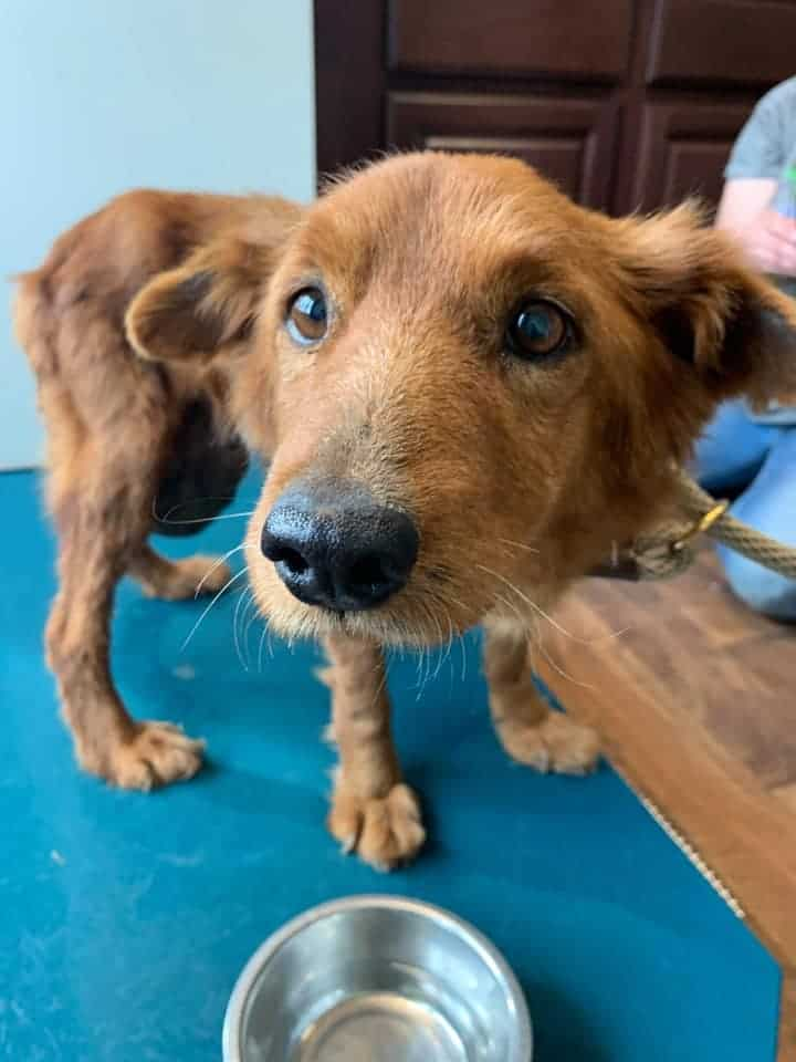 grace red dog tumor pup with beautiful brown eyes looking at rescuers