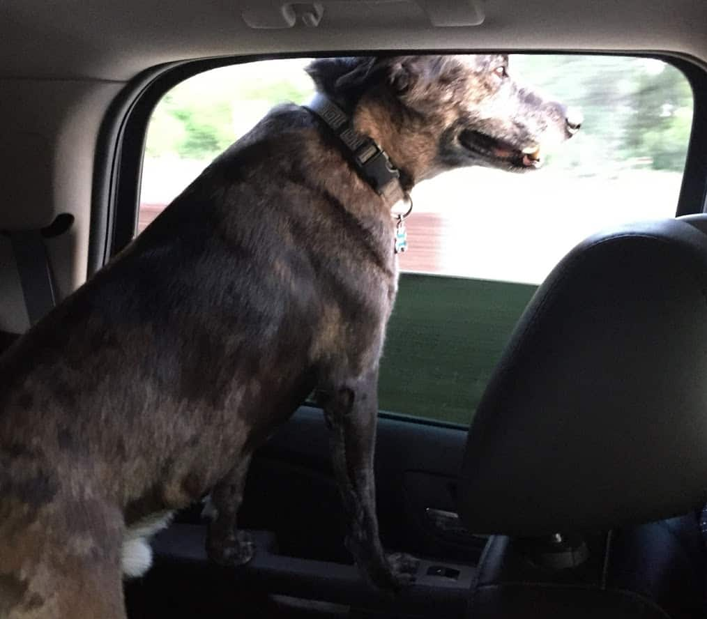 Doug is ready for his UberPet ride and rides in the back of the suv with the window down.
