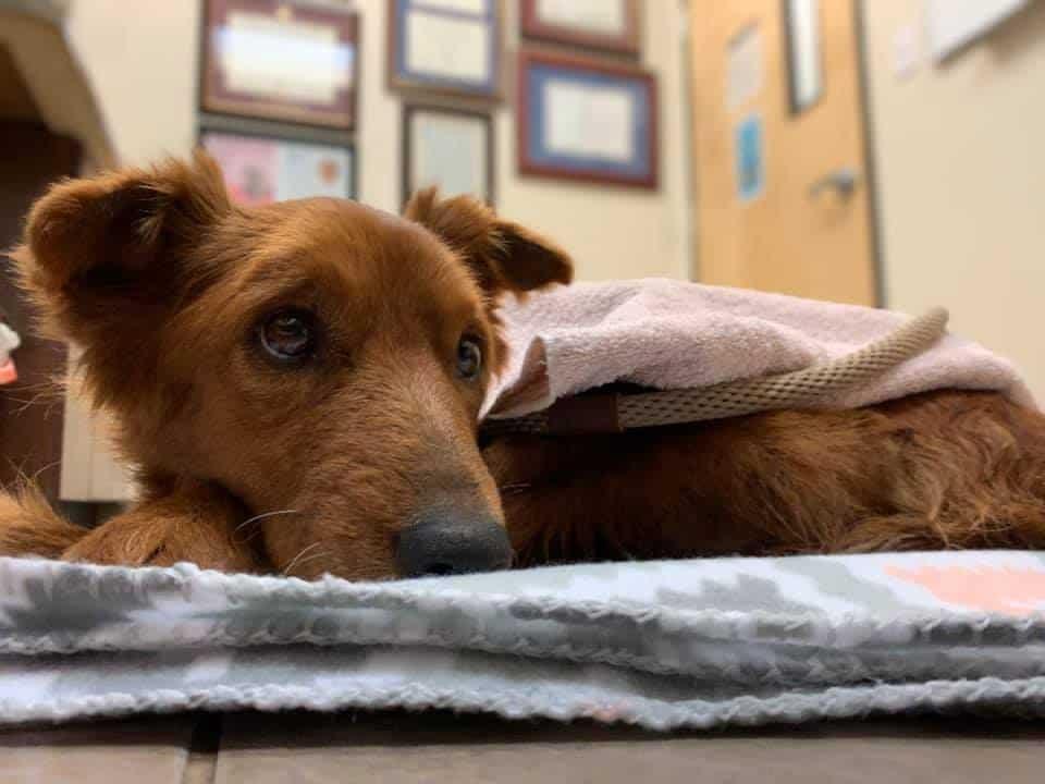 grace tumor pup on blanket waiting for vergi 24-7 ER doctor animal justice league houston texas