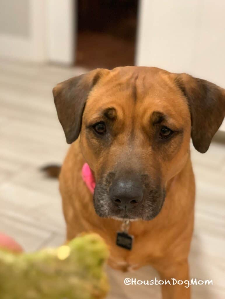 black mouth cur dog with pink collar and homemade dog treat