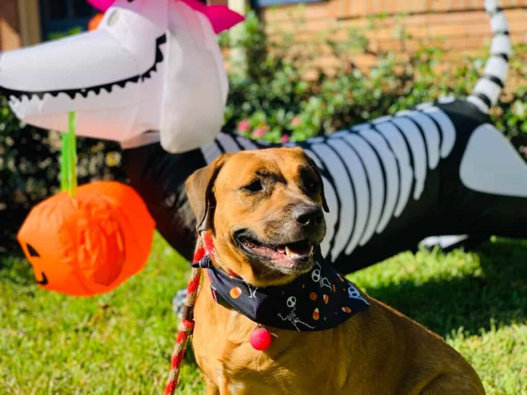 Tammy the tenacious isn't afraid of the halloween blowup but a lot of dogs are.