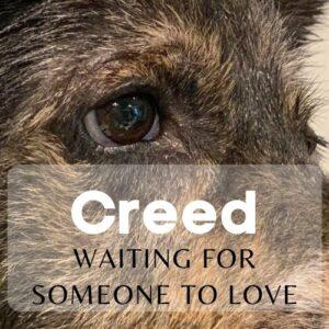 creed an adoptable dog at Harris County Pets