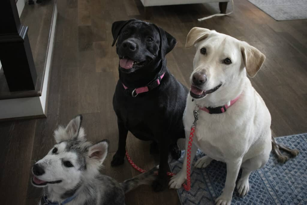 baily, sunny and max wait for homemade diy dog treats with turkey and sweet potato.