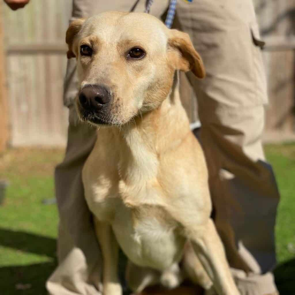 Milton is an adoptable yellow labrador in Houston Texas with Grennawald's Service rescue.