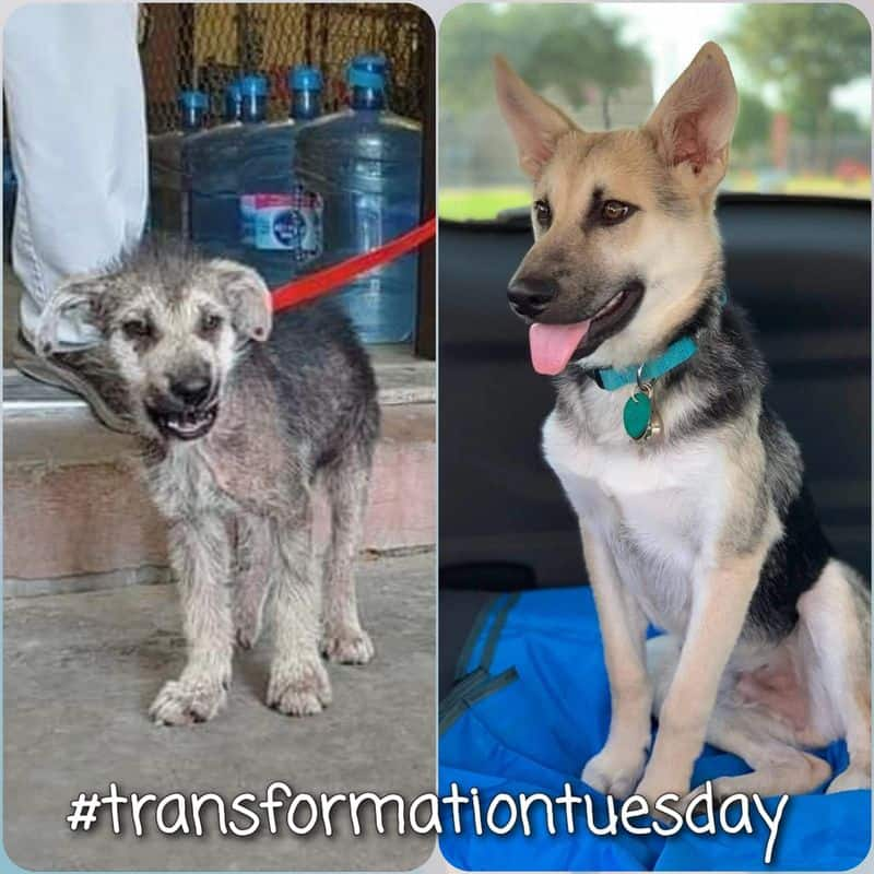 picture of moon pie leaving the harris county shelter shows him with mange and skinny with skin infections. Other picture shows him at 8 months as a beautiful german shepherd dog.