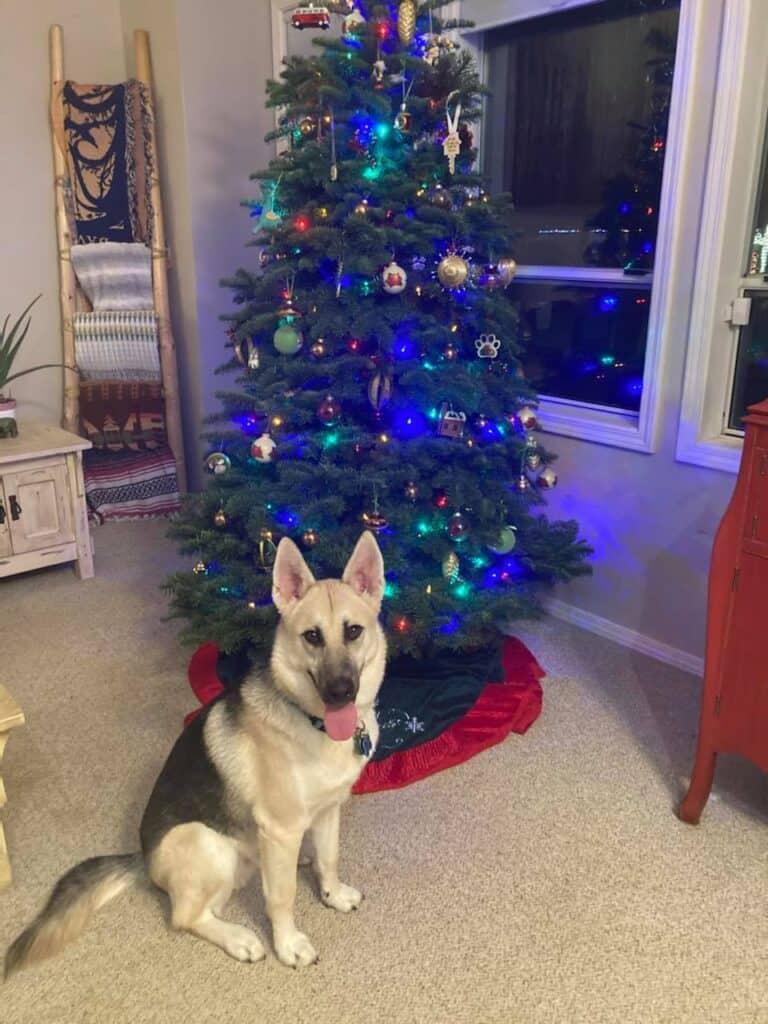 german shepherd dog iwth christmas tree wylie the foster dog