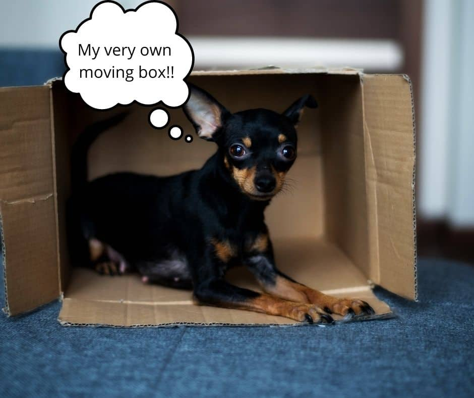 moving with a dog pet-friendly home in houston dog friendly. small dog in a moving box.