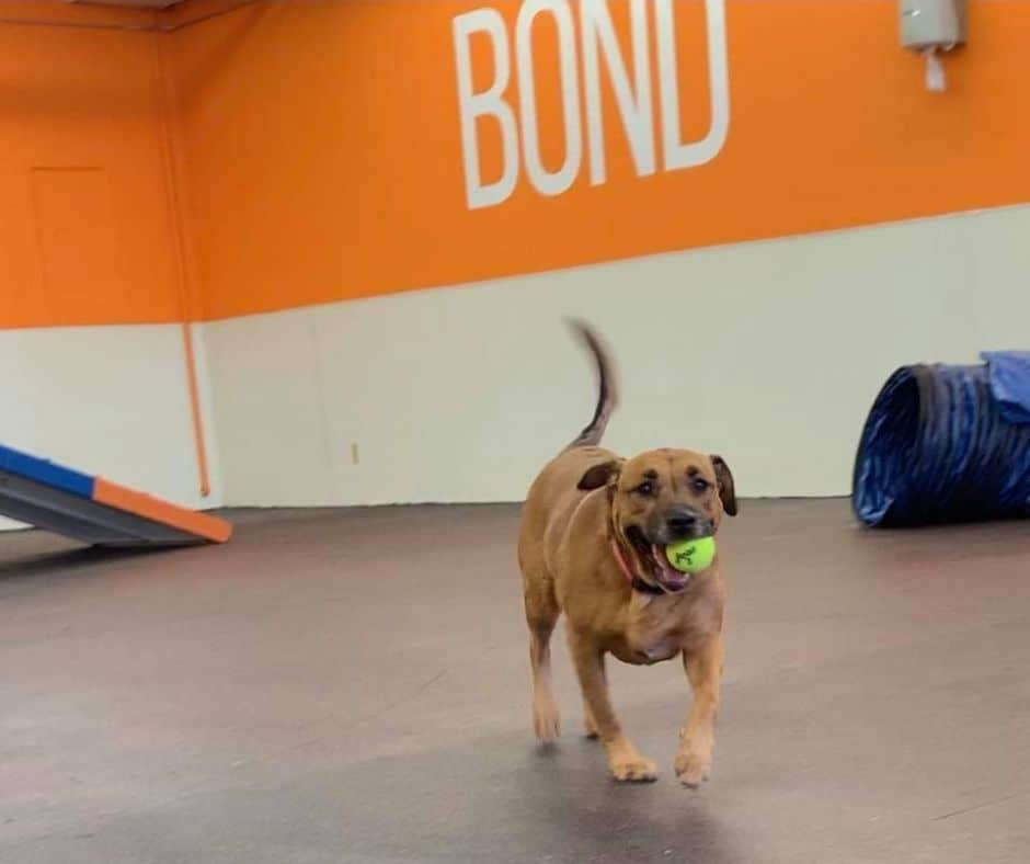 """brown dog with tennis ball in mouth with the word """"bond"""" on the wall. Dog is at The Dog Gym in Houston, an indoor dog training and agility in Houston."""