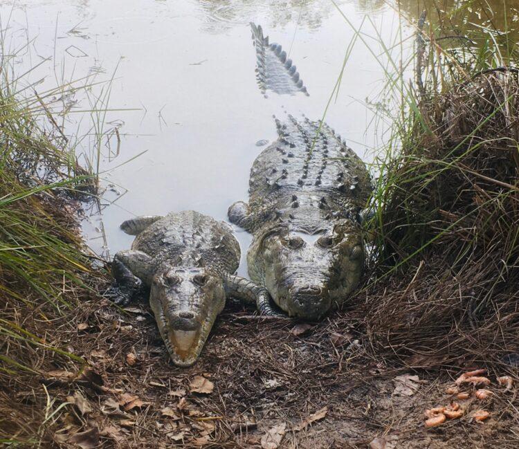 Foster Crocs