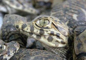 jingle bell croc