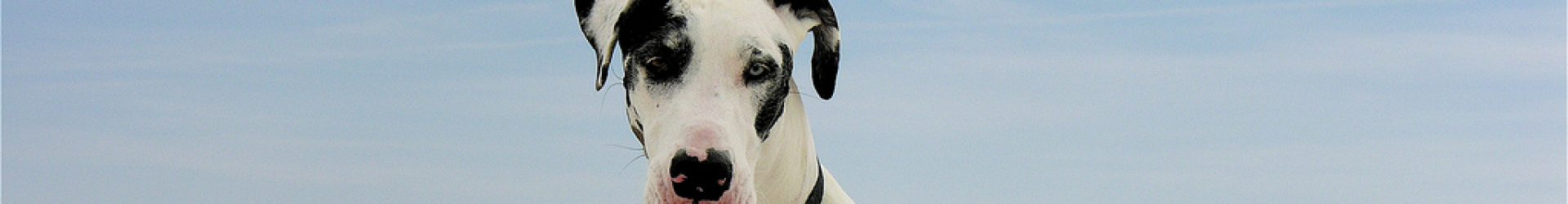 Mid-Atlantic Great Dane Rescue League - WV