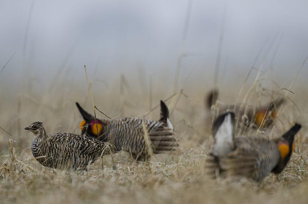 Prairie Chickens04072019_340