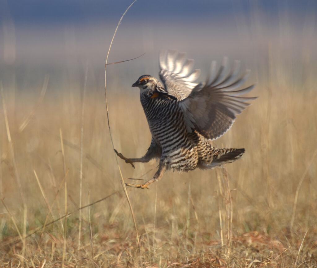 Prairie Chickens04052019_685
