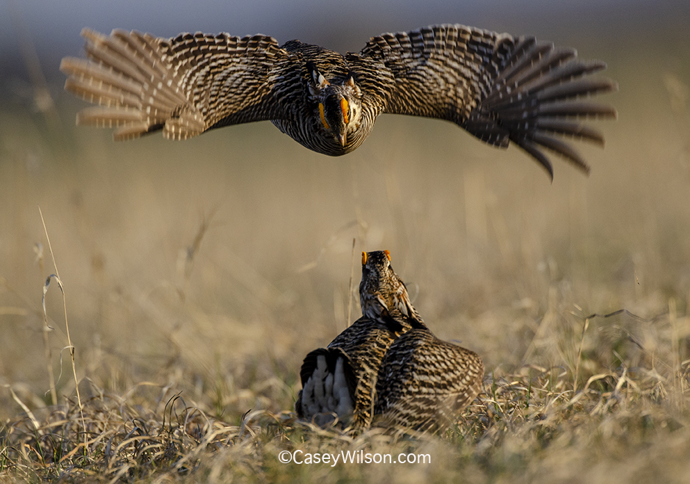 Prairie Chickens04142019_248i