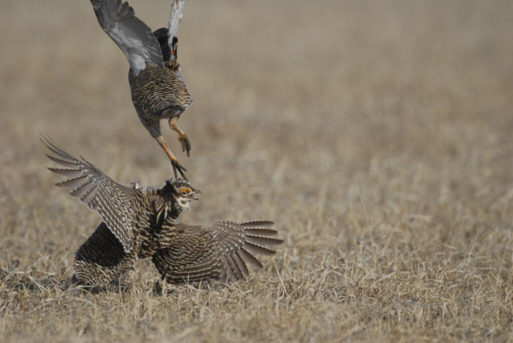 prairie chickens 03-18-10484