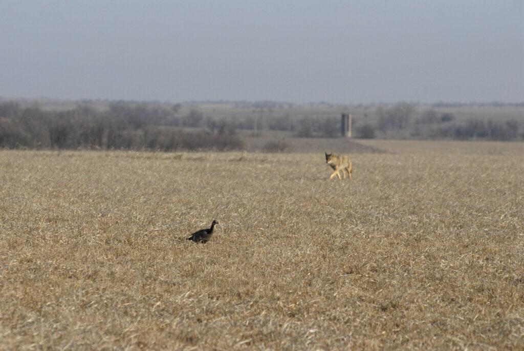 prairie chickens 03-18-10504