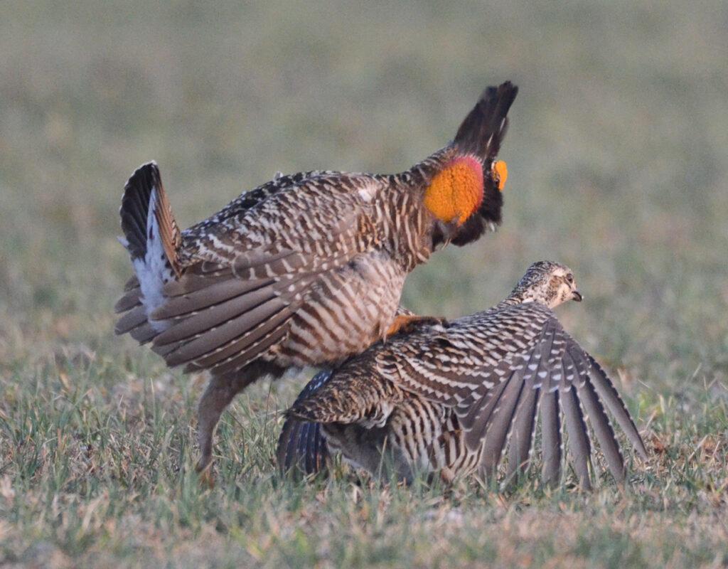 prairie chickens041220140264