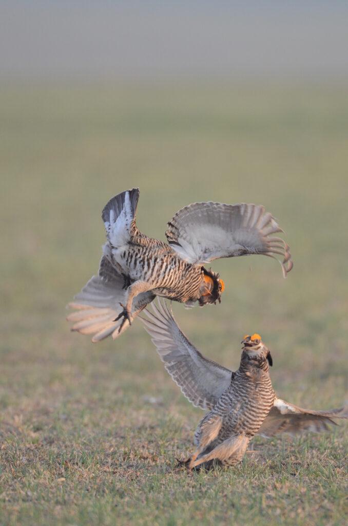 prairie chickens041220140600