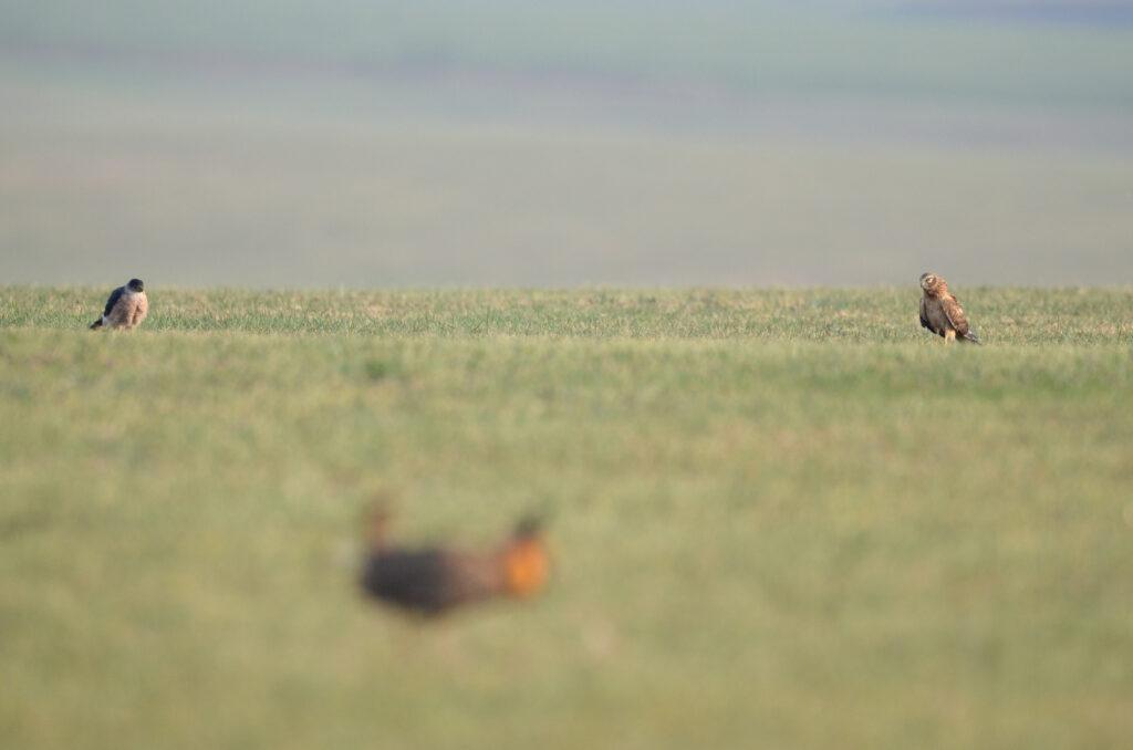 prairie chickens041220141111