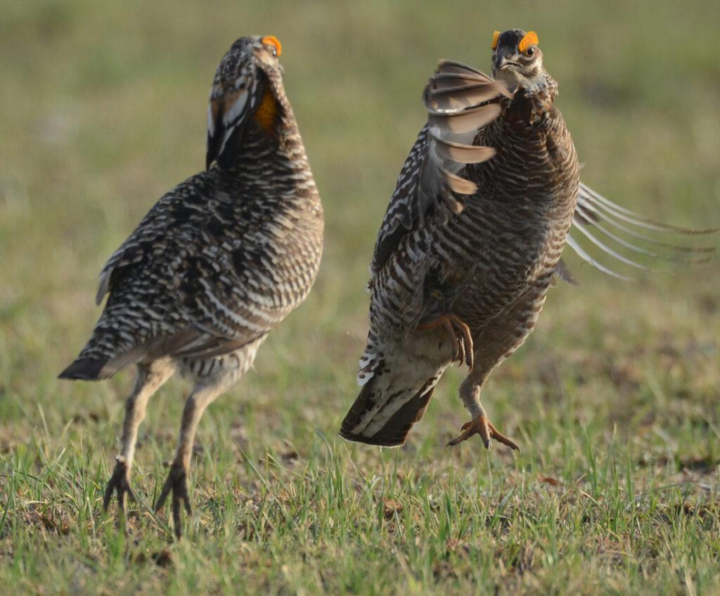 prairie chickens041220141304