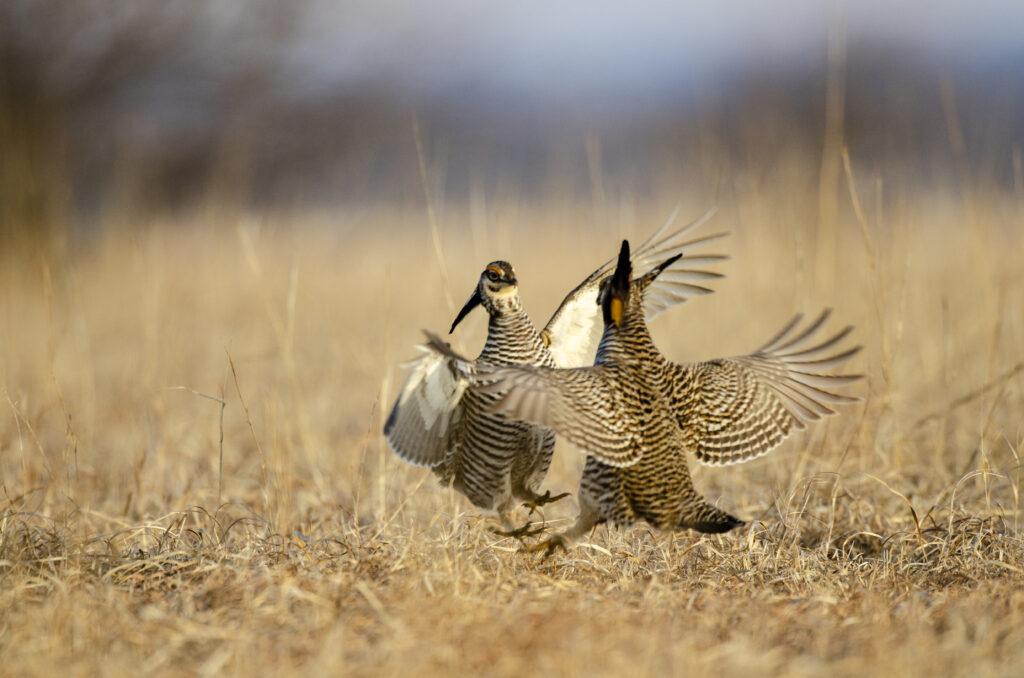 Prairie Chickens03112019_286